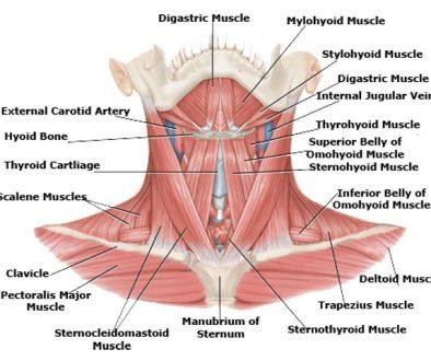 Ljudski-vrat-anatomija-vrata